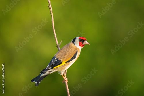 Foto European goldfinch bird, (Carduelis carduelis), perched eating seeds during Spri