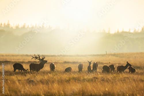 Herd of red deer cervus elaphus rutting and roaring during sunset Wallpaper Mural