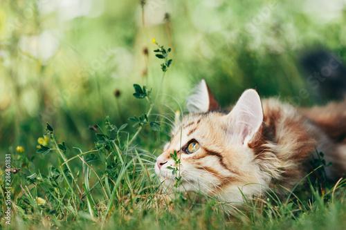Fotografie, Obraz A kitten - Siberian cat hunting in grass