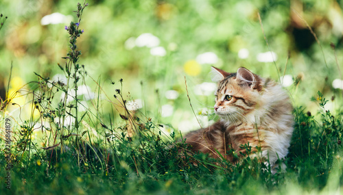Autocollant pour porte Chat A kitten - Siberian cat hunting in grass