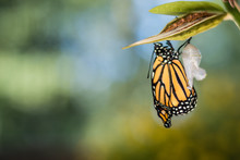 Monarch Butterfly Newly Emerge...