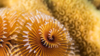 Close up of christmas tree worm in coral reef of the Caribbean Sea