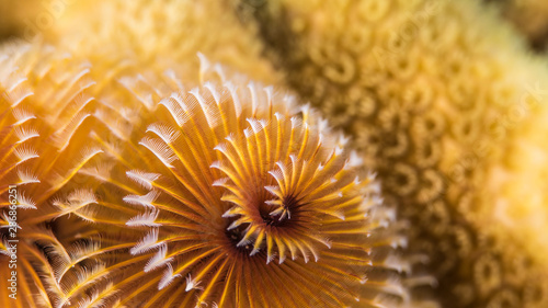 Photo sur Toile Recifs coralliens Close up of christmas tree worm in coral reef of the Caribbean Sea