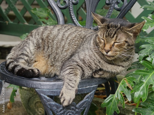 Medium close up of a tabby cat napping in a steel chair at the Hemingway house gardens in Key West, Florida.