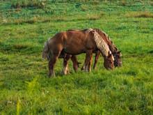 Amish Work Horses
