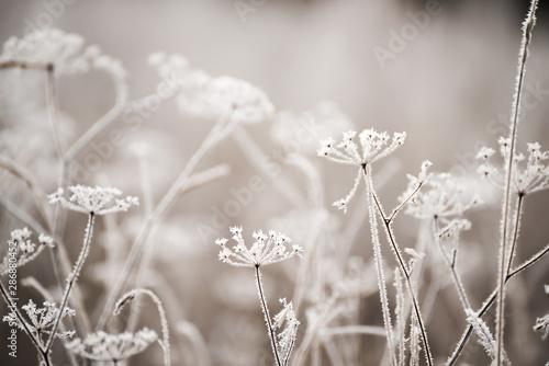 Fotografía  Dried flowers in a meadow in white hoarfrost