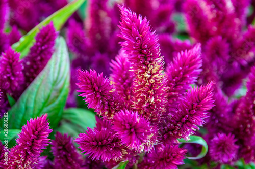 Photo beautiful blooming blood amaranth. flowers in bloom close-up