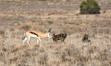 Springboks And Baboons