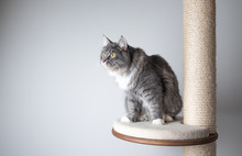 Young Playful Blue Tabby Maine Coon Cat With White Paws On Scratching Post Platform In Front Of White Background With Copy Space Looking To The Side Curiously