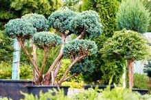 Beautiful Juniper Trees In Pot...