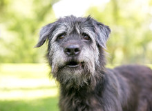 A Scruffy Irish Wolfhound / Retriever Mixed Breed Dog Standing Outdoors