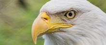 Captive American Bald Eagle  (Haliaeetus Leucocephalus) At The Washington Park Zoo In Michigan City, Indiana