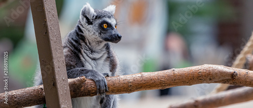 "Photo  ""Captive"" Ring-Tailed Lemur (Lemur catta) is a large strepsirrhine primate at Washington Park Zoo in Michigan City, Indiana"