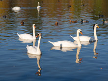 Group Of Swan Birds And Ducks In Lake In Golden Evening Light