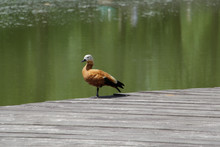 One Brown Duck. A Lonely Duck ...