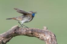 A Small, Brightly Colored Bird Of The Far North, The Bluethroat  (Luscinia Svecica)