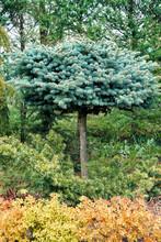 Beautiful Blue Coniferous Tree Growing In Outdoor Garden Shop