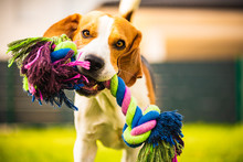 Beagle Dog Runs In Garden Towards The Camera With Rope Toy. Sunny Day Dog Fetching A Toy.