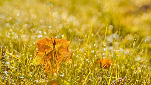 Fototapety, obrazy: Autumn, fall banner with golden field grass, marple leaves in sunset rays