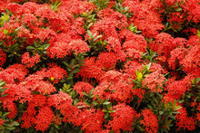 Close-up In A Garden Covered With Beautiful Red Flowers Of The Ixora Genus