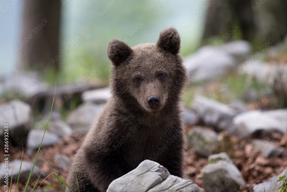 Fototapety, obrazy: Bear cub looking at camera