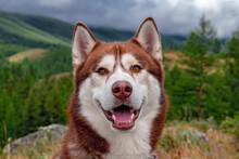 Smiling Husky Dog Portrait. La...