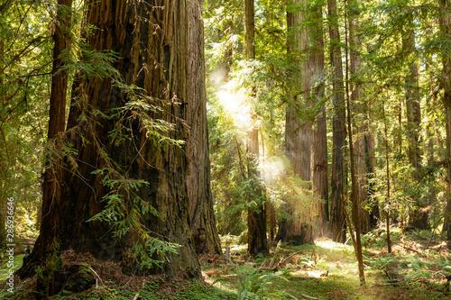 Autocollant pour porte Route dans la forêt Coastal fog drifts through a dense redwood grove in Northern California