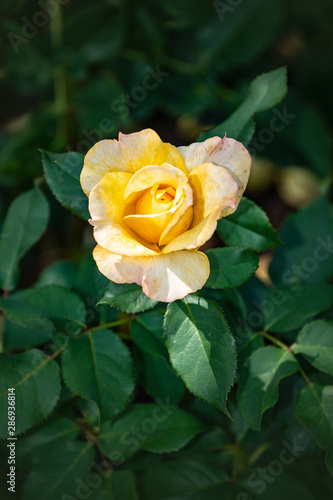Rose flower closeup. Shallow depth of field. Spring flower of yellow rose