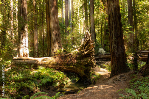Foto  Coastal fog drifts through a dense redwood grove in Northern California