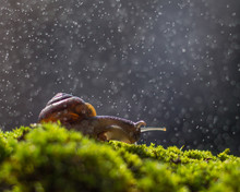 The Snail On The Green Moss Un...