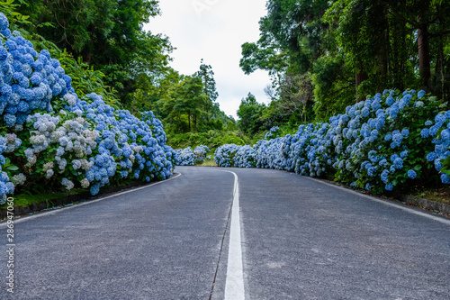 Garden Poster Hydrangea Empty road with white and blue hydrangea at the roadside at São Miguel, Azores - Portugal