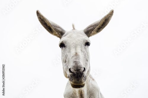 Fotobehang Ezel Young and pretty white donkey looks at camera on white background.