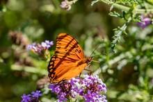Gulf Fritillary Butterfly Close Up
