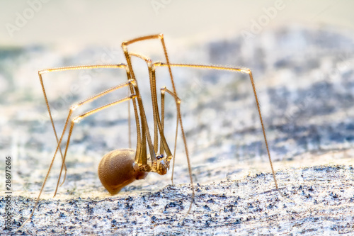 Closeup of a tender spider with long legs ( Pholcidae ) Canvas Print