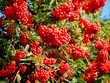 canvas print picture Rowan Tree Red Berries