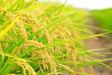 秋の田んぼ Autumn Rice ...