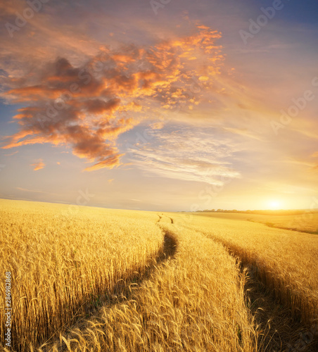 Meadow of wheat. Canvas Print