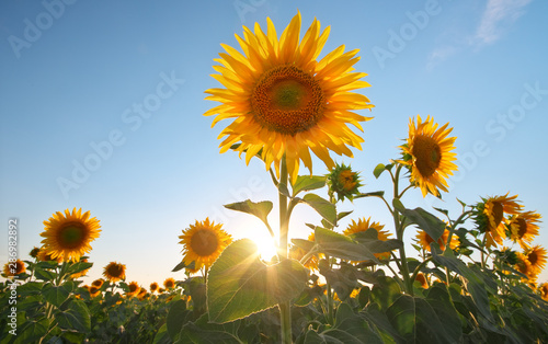 Field of sunflowers at sunset.