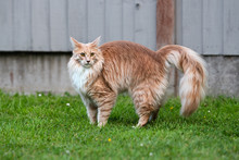 Portrait Of A Maine Coon Cat Standing In A Garden