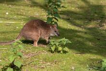 Wallaby, Macropodidae, Close U...