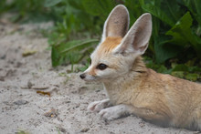 Fennec Fox, Vulpes Zerda, Close Up Portrait Of Face And Large Ears While Sitting Looking Away During A Bright Summers Day.