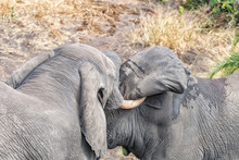 Two African Elephants Testing ...