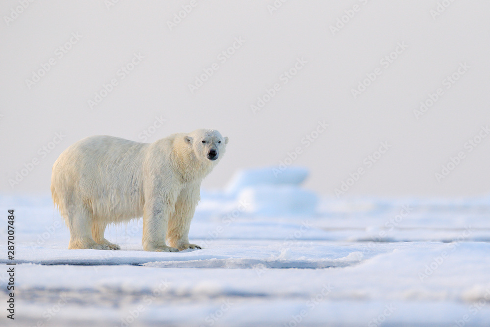 Fototapety, obrazy: Polar bear on drift ice edge with snow and water in Svalbard sea. White big animal in the nature habitat, Europe. Wildlife scene from nature. Dangerous bear walking on the ice.