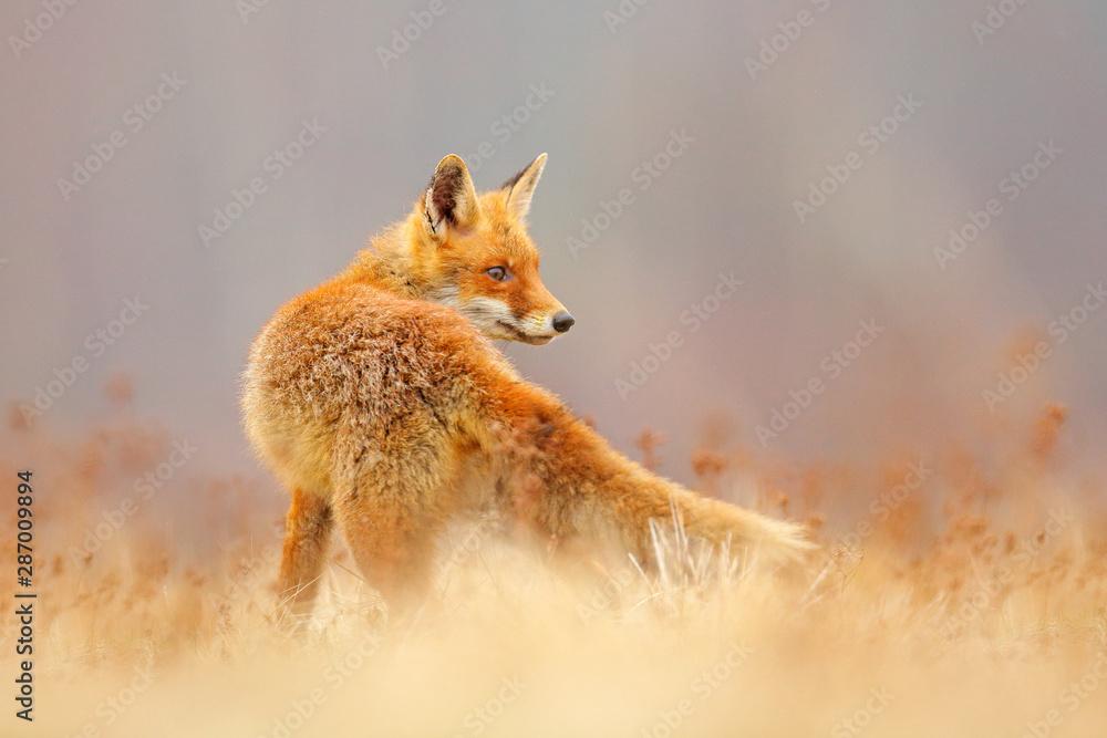 Fototapeta Red Fox hunting, Vulpes vulpes, wildlife scene from Europe. Orange fur coat animal in the nature habitat. Fox on the green forest meadow.