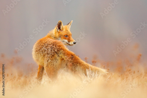 Red Fox hunting, Vulpes vulpes, wildlife scene from Europe Wallpaper Mural