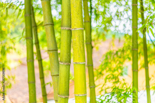 Foto op Canvas Bamboo A close-up of yellow-green bamboo branches in bamboo forest