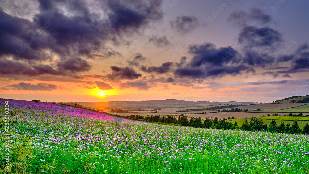 Fototapety, obrazy: Summer sunset over the Meon valley towards Beacon Hill with a field of thistles catching the golden light.