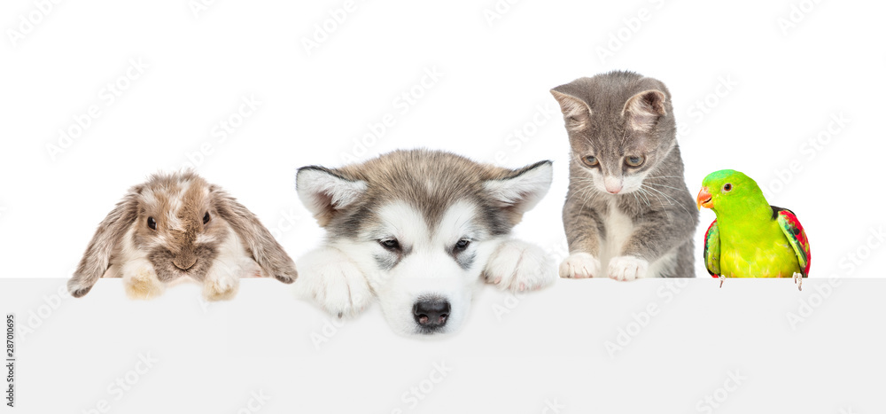 Fototapety, obrazy: Large group of pets  over empty white banner looking down. isolated on white background. Empty space for text