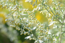 Wormwood. Flowering Absinthium. Medicinal Plant. Background Blur. Wormwood On The Field In The Sunlight Blooming Wild Field.