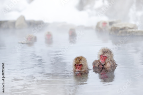 Photo Family in the spa water Monkey Japanese macaque, Macaca fuscata, red face portrait in the cold water with fog, animal in the nature habitat, Hokkaido, Japan